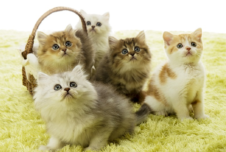 猫 雑種 長毛種